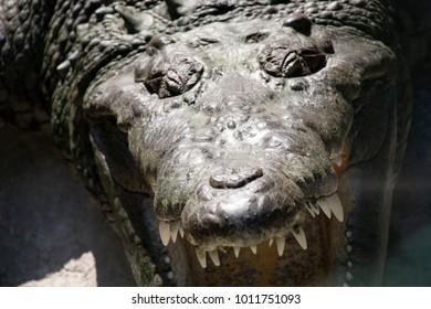 Crocodrile ready to eat