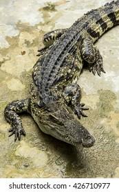 Crocodylus siamensis (Siamese Fresh , water Crocodile)