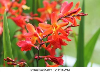 Crocosmia or Montbretia plant in bloom with orange flowers .