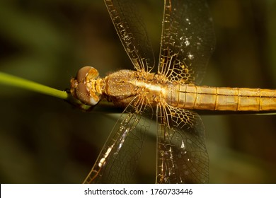 Crocothemis erythraea, common names include broad scarlet, common scarlet-darter, scarlet darter and scarlet dragonfly. Dragonfly female in morning dew.