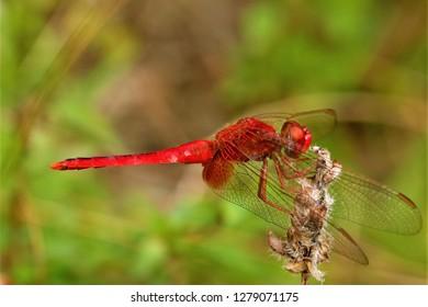 Crocothemis servilia, the scarlet skimmer, found in Sichuan, China.