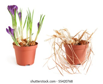 Crocus blooming and fading on white background
