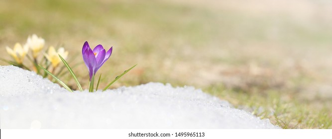 Crocus blossomed on a spring sunny day. A beautiful blue primrose on a background of brilliant white snow.
