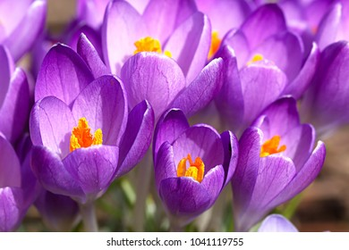 Crocus chrysanthus - the snow crocus is one of the first geophytes blooming in spring. It only opens the blossoms when the sun is shining.