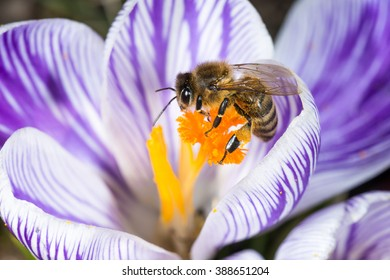 Crocus flower close up in spring with a honey bee
