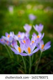 Crocus flower in natural environment.