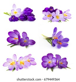 crocus flower on white background - fresh spring flowers - collage