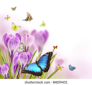 Crocus flowers background with free space for text