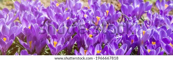 crocus-flowers-banner-spring-600w-196666