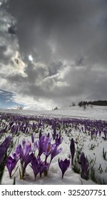 Crocus flowers blooming in snow