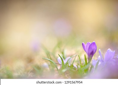 Crocus flowers in early spring