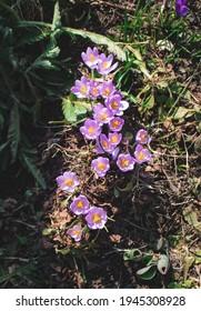 Crocus flowers in early Spring