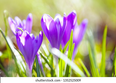 Crocus flowers in forest.