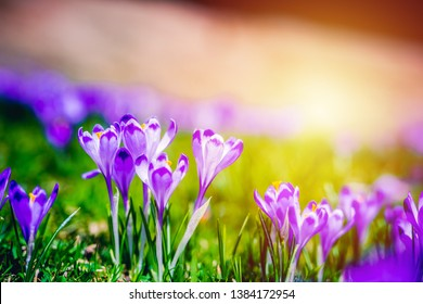 Crocus flowers in forest backround