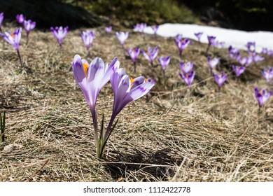Crocus flowers (crocus heuffelianus) in spring