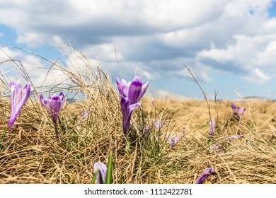 Crocus flowers (crocus heuffelianus) in spring with clouds