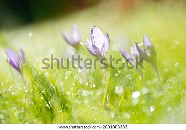 crocus-flowers-morning-sunrise-600w-2001