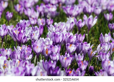 Crocus flowers on green meadow