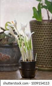 Crocus flowers in a pot
