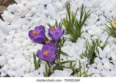 Crocus flowers spring bloom in the garden