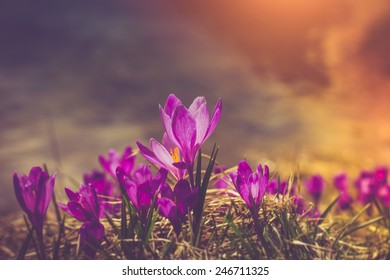 Crocus flowers in the warm rays of spring. Filtered image:cross processed vintage effect.