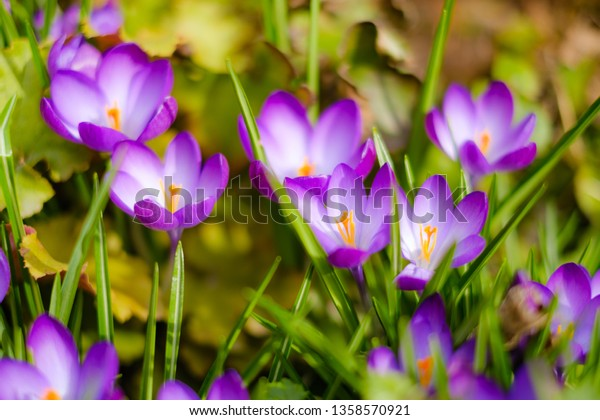Crocus in full bloom from above