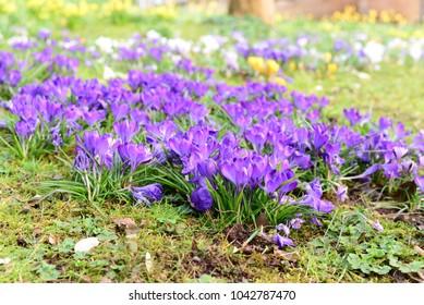 Crocus, Iris, Corm, Spring Flower