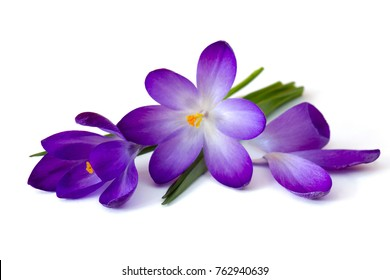 Violet flower images stock photos vectors shutterstock crocus one of the first spring flowers mightylinksfo