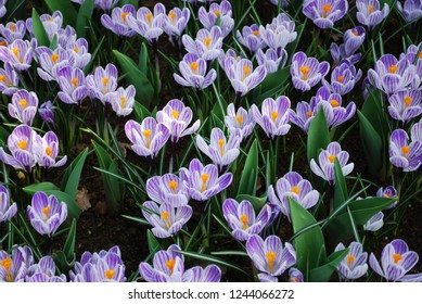 Crocus Pickwick grown in the park. Spring time in Netherlands.