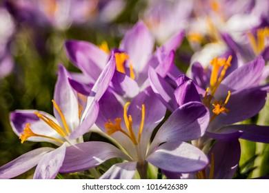 Crocus, plural crocuses or croci is a genus of flowering plants in the iris family. A single crocus, a bunch of crocuses, a meadow full of crocuses, close-up crocus