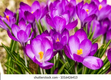 Crocus, plural crocuses or croci is a genus of flowering plants in the iris family. A single crocus, a bunch of crocuses, a meadow full of crocuses, close-up crocus