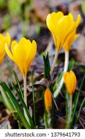 Crocus, plural crocuses or croci is a genus of flowering plants in the iris family. A single crocus, a bunch of crocuses, a meadow full of crocuses