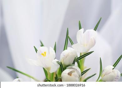 Crocus, Plural Crocuses oder Croci ist eine Gattung blühender Pflanzen aus der Iris-Familie. Ein einziger Krokus, ein Haufen Krokus, eine Wiese voller Krokus, Nahaufnahme. Krokus auf weißem Hintergrund.