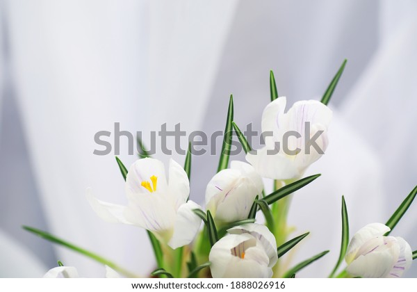 Crocus, plural crocuses or croci is a genus of flowering plants in the iris family. A single crocus, a bunch of crocuses, a meadow full of crocuses, close-up crocus. Crocus on white background.