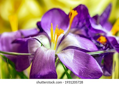 Crocus purple flowers in sunny garden . Early spring flowers. Blurry background.
