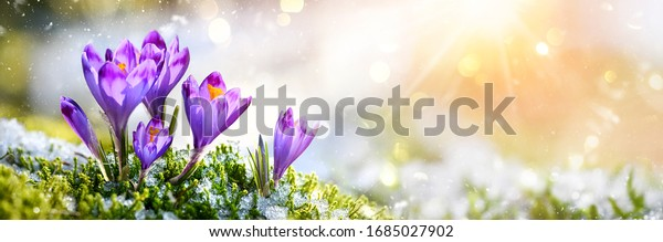 Crocus Purple spring flower growth in the snow with copy space for text. Floral wide panorama. Crocus Iridaceae