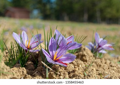 crocus sativus petals with brown soil and some green grasses, saffron is a spice derived from the flower of crocus sativus