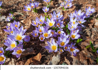 Crocus sieberi 'Tricolor' flowers in early spring in the garden