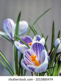 Crocus vernus,Spring Crocus, Giant Crocus is a species in Family Iridaceae