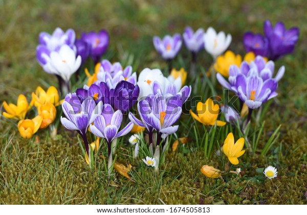 Crocuses - The approximately 240 species of crocus are mainly found in the Orient, but also in Europe, North Africa and as far as western China. They have been popular ornamental plants for centuries.