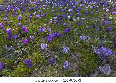 Crocuses to easter on a meadow