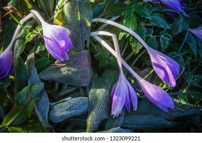 Crocuses in the frost, close-up