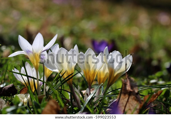 Crocuses / A group of crocuses in the grass