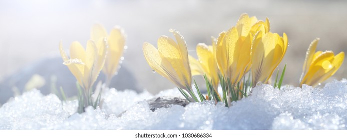 Crocuses grow on snow on a spring sunny day in the open ground. Coloring a composition of yellow flowers and a stone under bright rays, a template for a postcard.