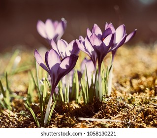 Crocuses as messengers of spring on a sunlit meadow