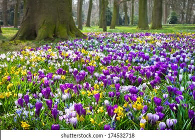 Crocuses and narcissus in the park. Spring landscape.