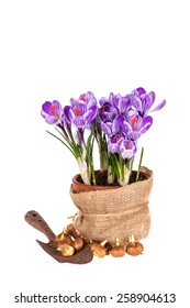 Crocuses in pot, old trowel and bulbs isolated on white background.