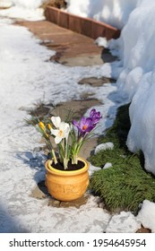 Crocuses Remembrance and Jeanne d'Arc in a pot on a garden path in early spring.