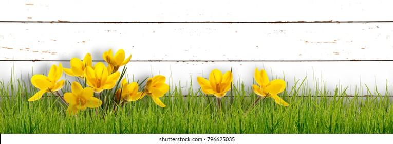 crocusi in dooryard in springtime