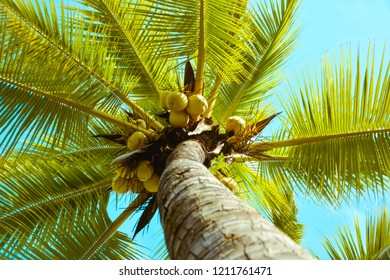 crone of a palm tree with coconut